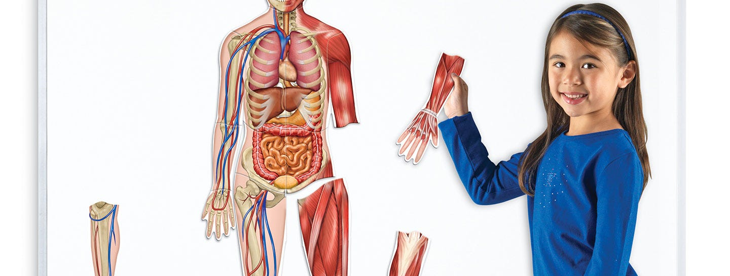 The Human Body & Anatomy Models