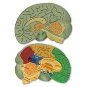 Soft Foam Cross-Section Brain Model
